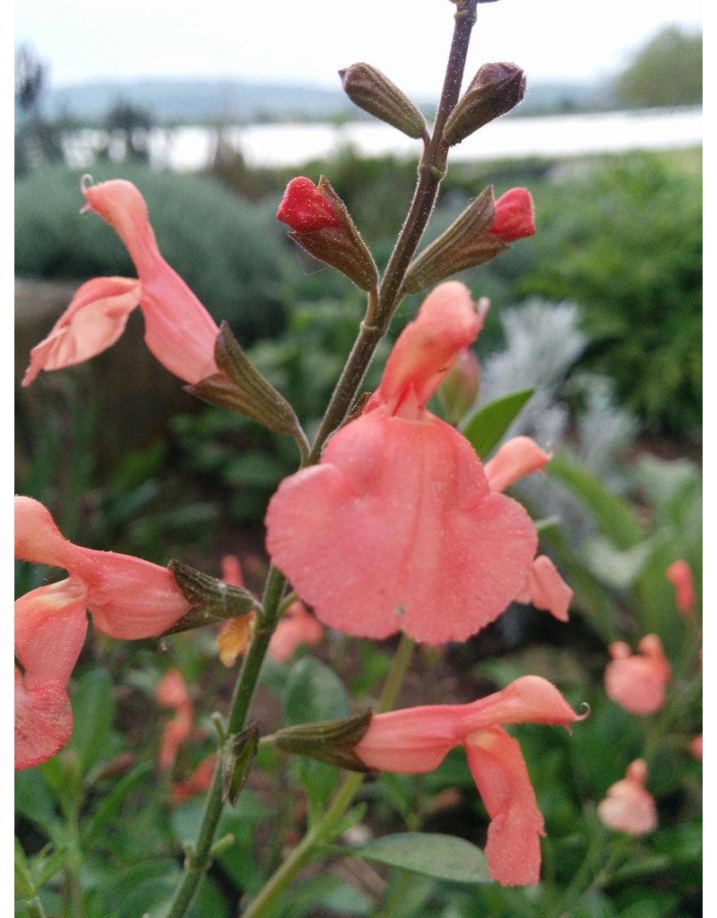 Pfirsich-Salbei (Salvia jamensis)