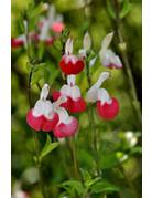 Heiße-Lippen-Salbei (Salvia greggii 'Hot Lips')