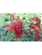 Kardinal-Salbei (Salvia fulgens)