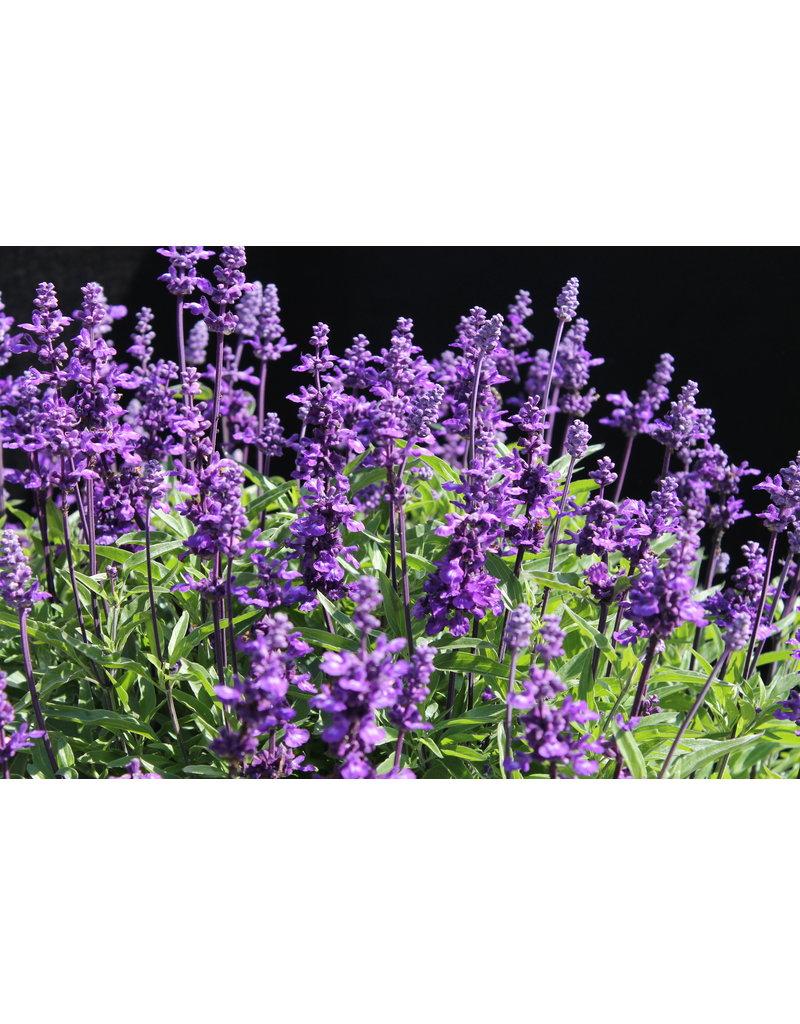 Mehl-Salbei (Salvia farinacea)