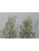 Pinienduft-Rosmarin (Rosmarinus officinalis)