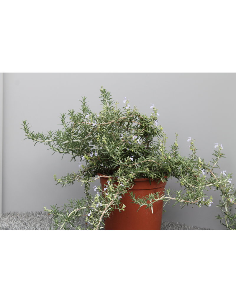 Rosmarin 'Lavandulaceus' (Rosmarinus officinalis 'Lavandulaceus')