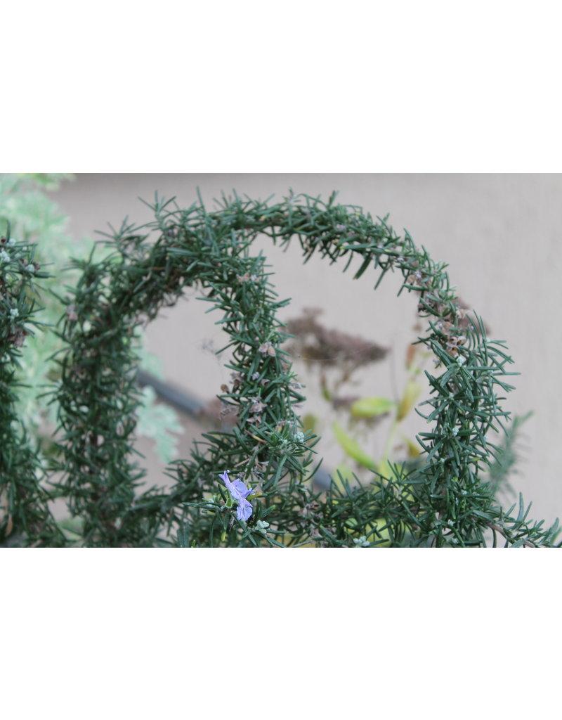 Rosmarin 'Foxtail' (Rosmarinus officinalis 'Foxtail')