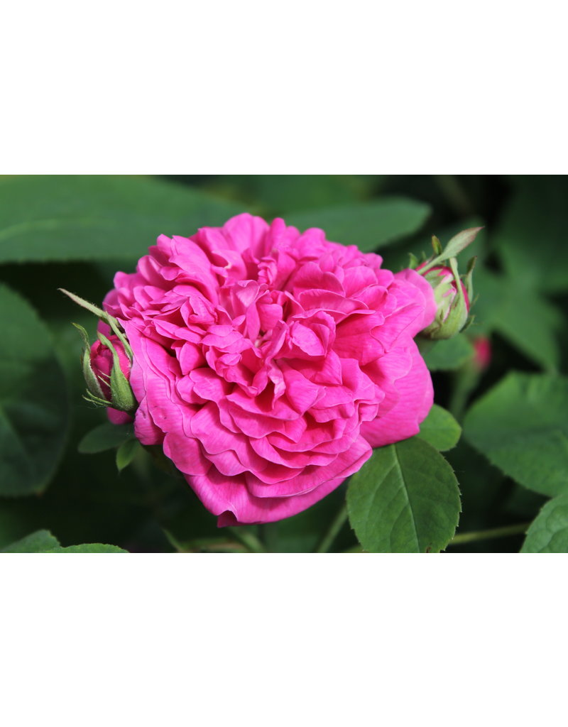 Damaszener-Rose 'Rose de Resht' (Rosa damascena)