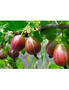 Stachelbeere (Ribes uva-crispa)