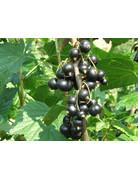Schwarze Johannisbeere (Ribes nigrum)
