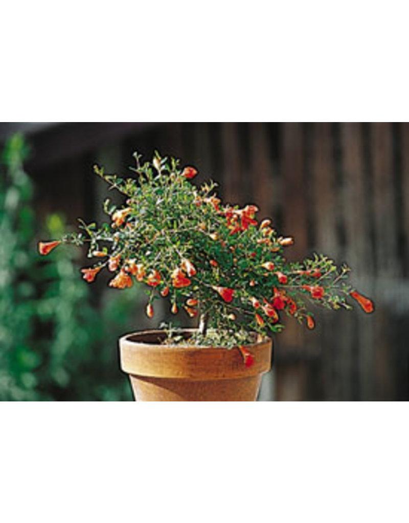 Granatapfel (Punica granata Nana)