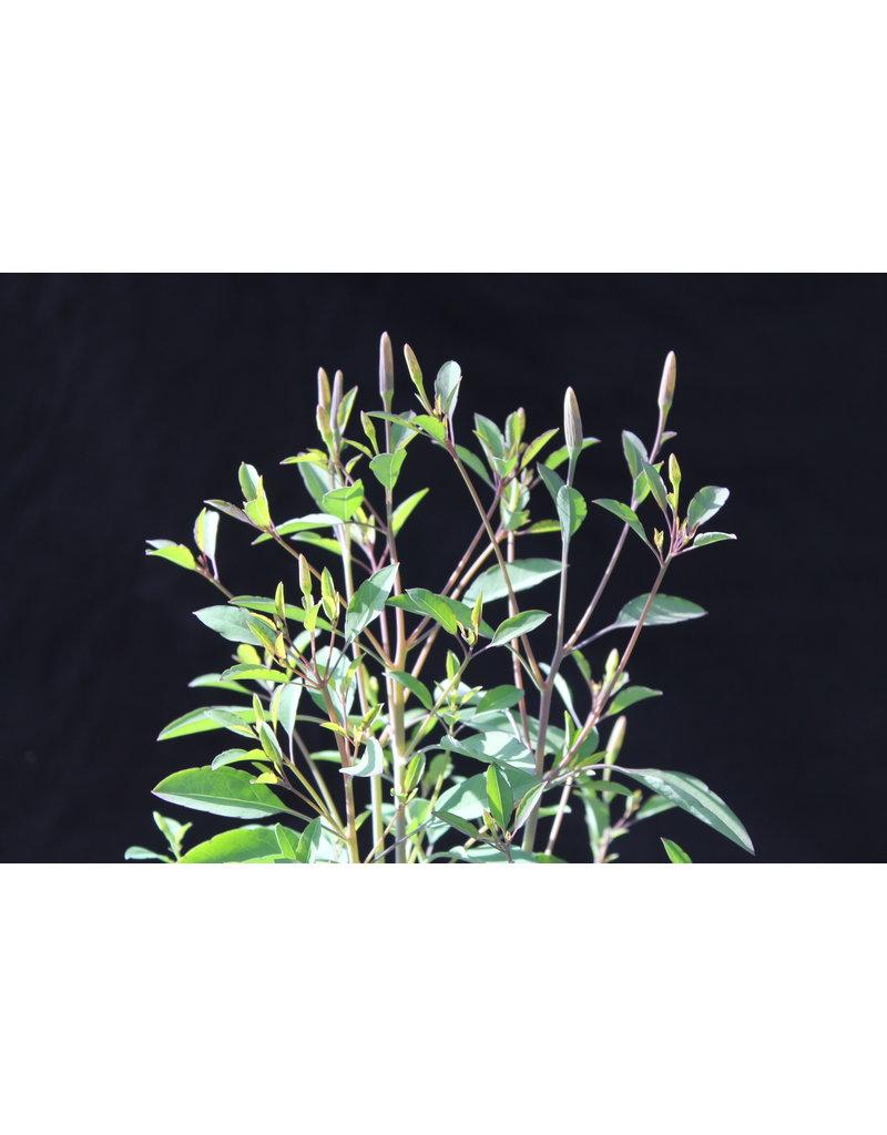 Mexikanischer Koriander, Killi (Porophyllum ruderale)