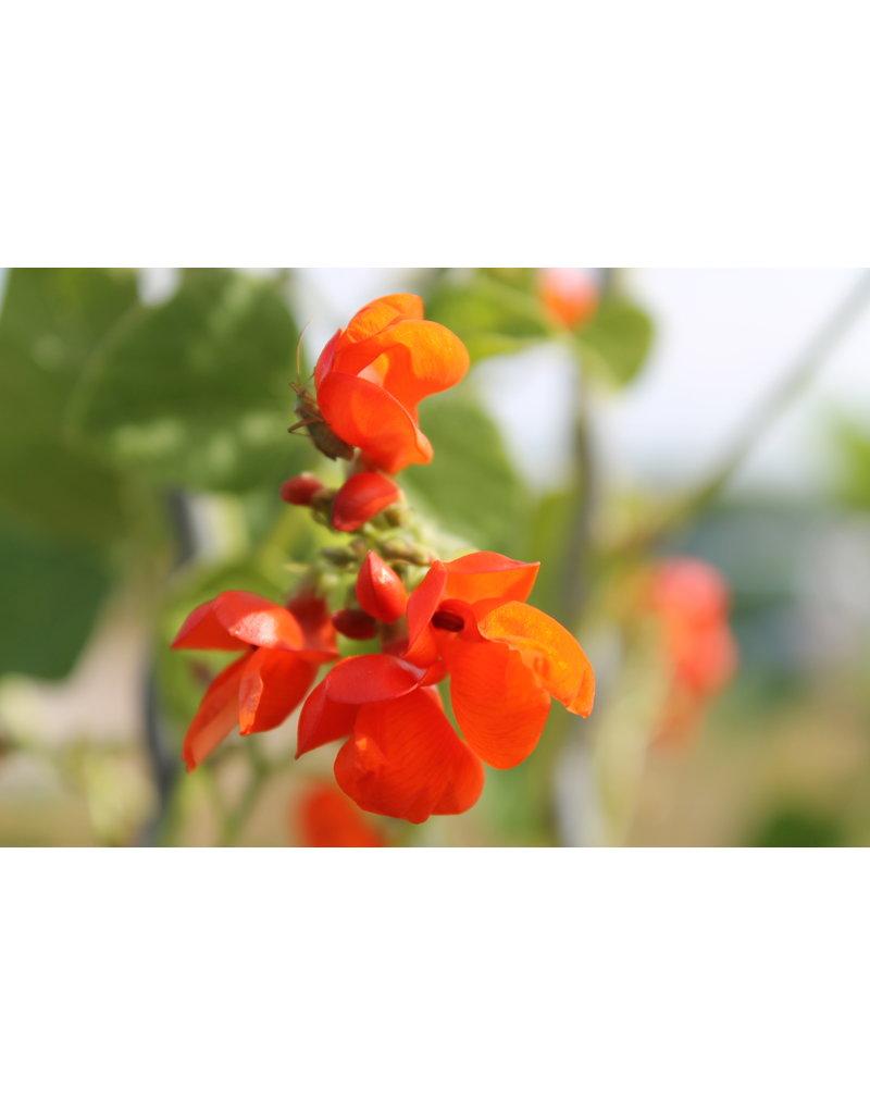 Feuer-Bohne (Phaseolus coccineus)