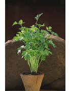 Italienische Petersilie (Petroselinum crispum neapolitanum)