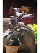 Purpur-Perilla (Perilla frutescens)