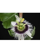 Passionsfrucht, Maracuja (Passiflora edulis)