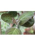 La Mo Long, Käse-Blatt - Paederia languinosa