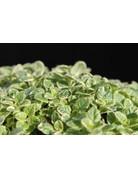 Gelbbunter Oregano (Origanum vulgare variegatum)