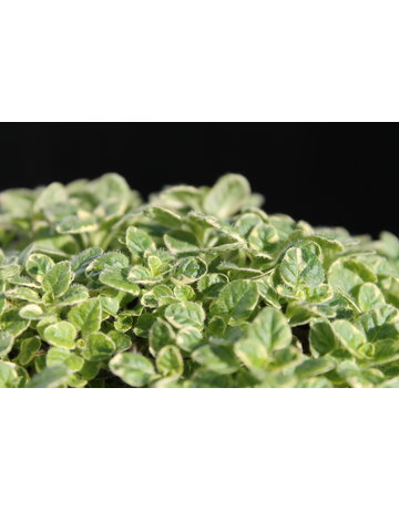 Gelbbunter Oregano