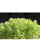 Zwerg-Oregano (Origanum vulgare nanum)