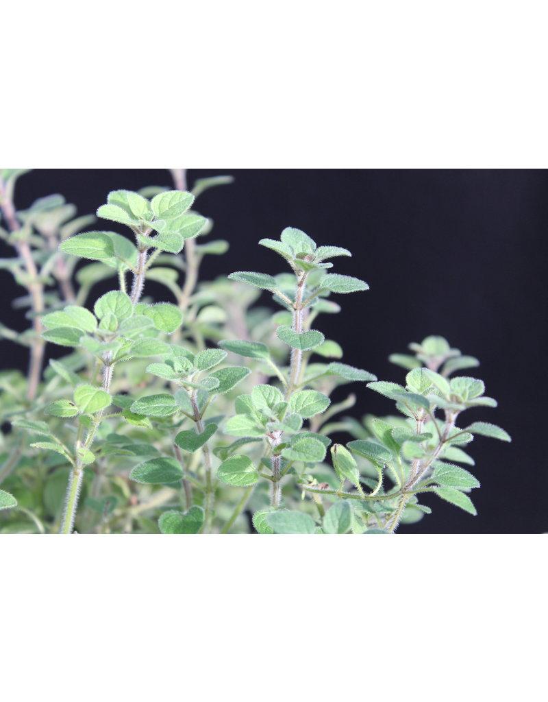 Pfeffriger Oregano (Origanum vulgare)