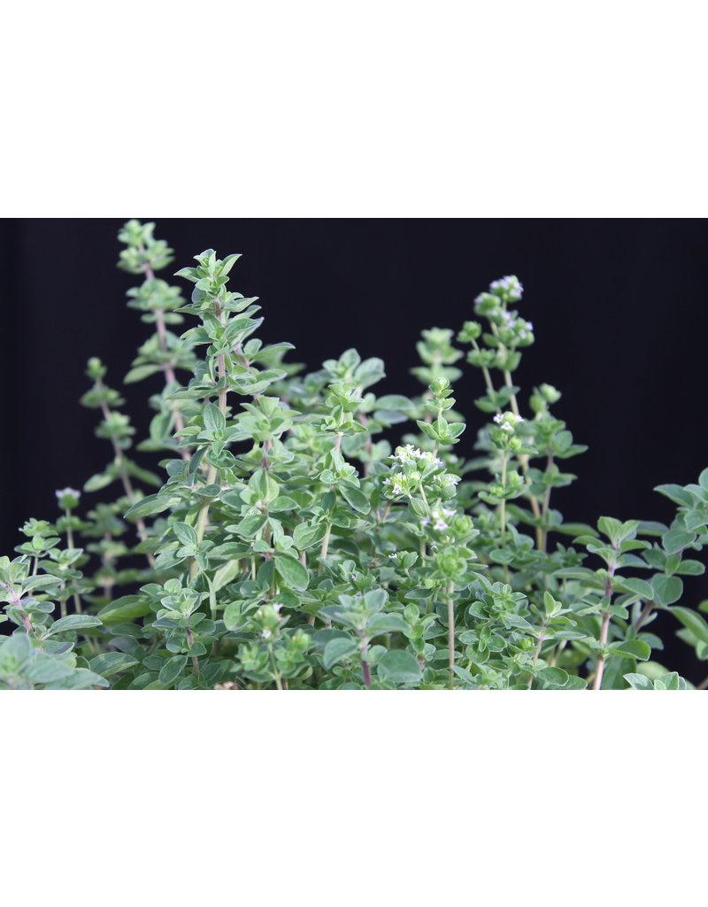 Ausdauernder Majoran (Origanum majoricum)