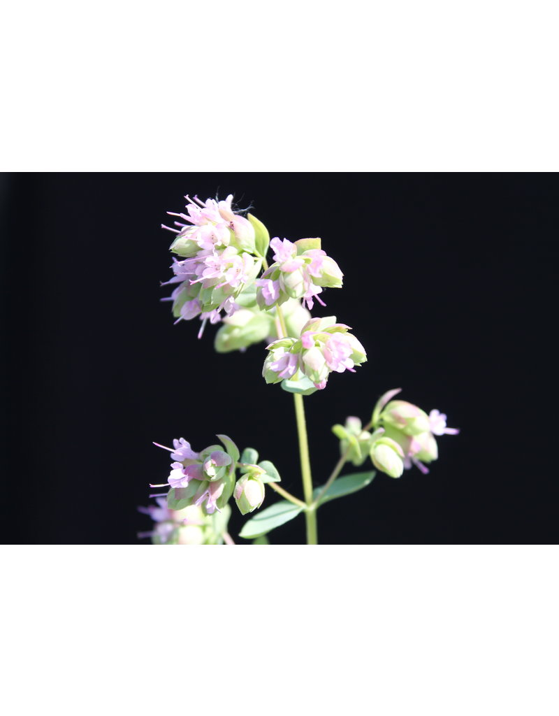 Oregano 'Hopfenblüte' (Origanum rotundifolium)