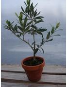 Olivenbaum (Olea europea)