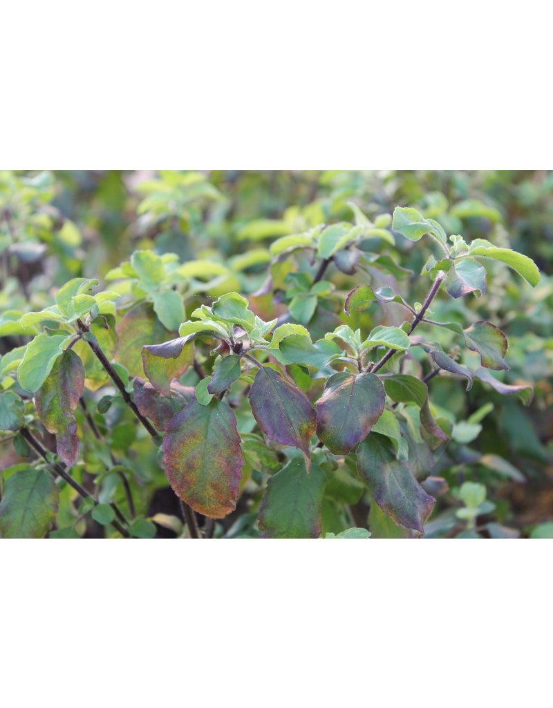 Rotes Pfeffer-Basilikum (Ocimum tenuiflorum 'Purple')
