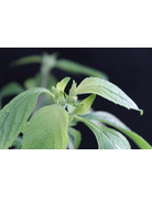 Nelkenöl-Basilikum (Ocimum gratissimum)
