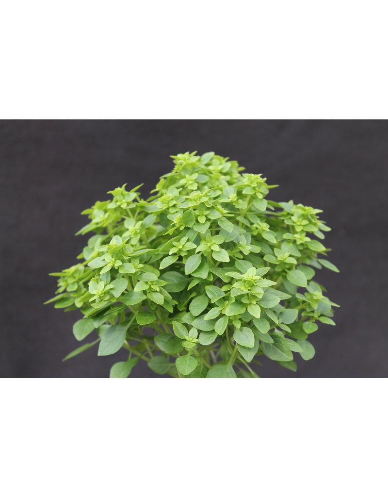 Bäumchen-Basilikum (Ocimum basilicum)