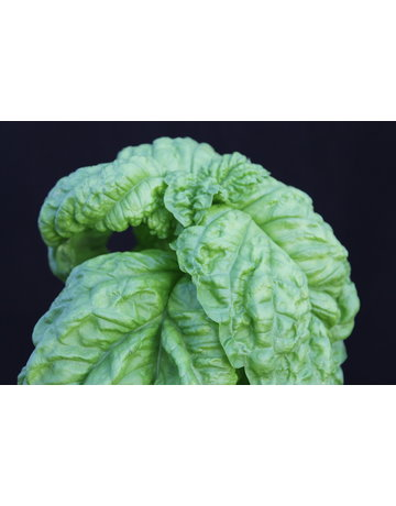 Salatblättriges Basilikum