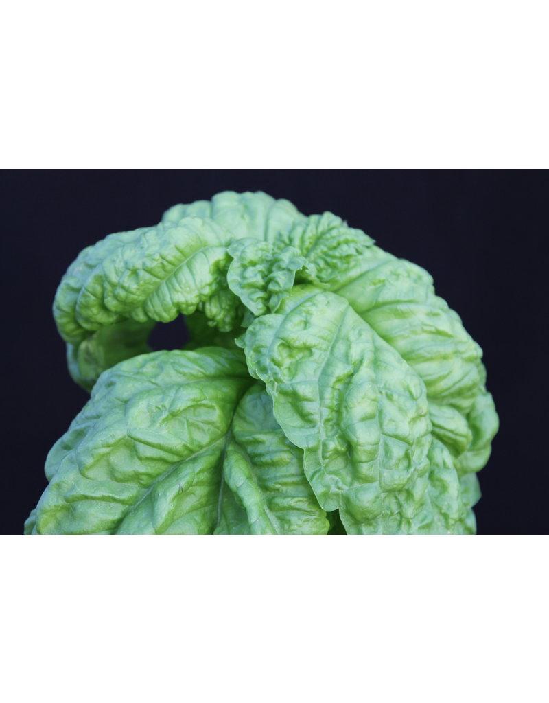 Salatblättriges Basilikum (Ocimum basilicum)
