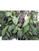 Thai-Basilikum (Ocimum basilicum ´Siam Queen´)