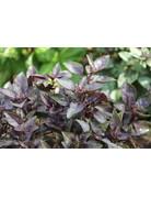 Rotes Busch-Basilikum (Ocimum basilicum)