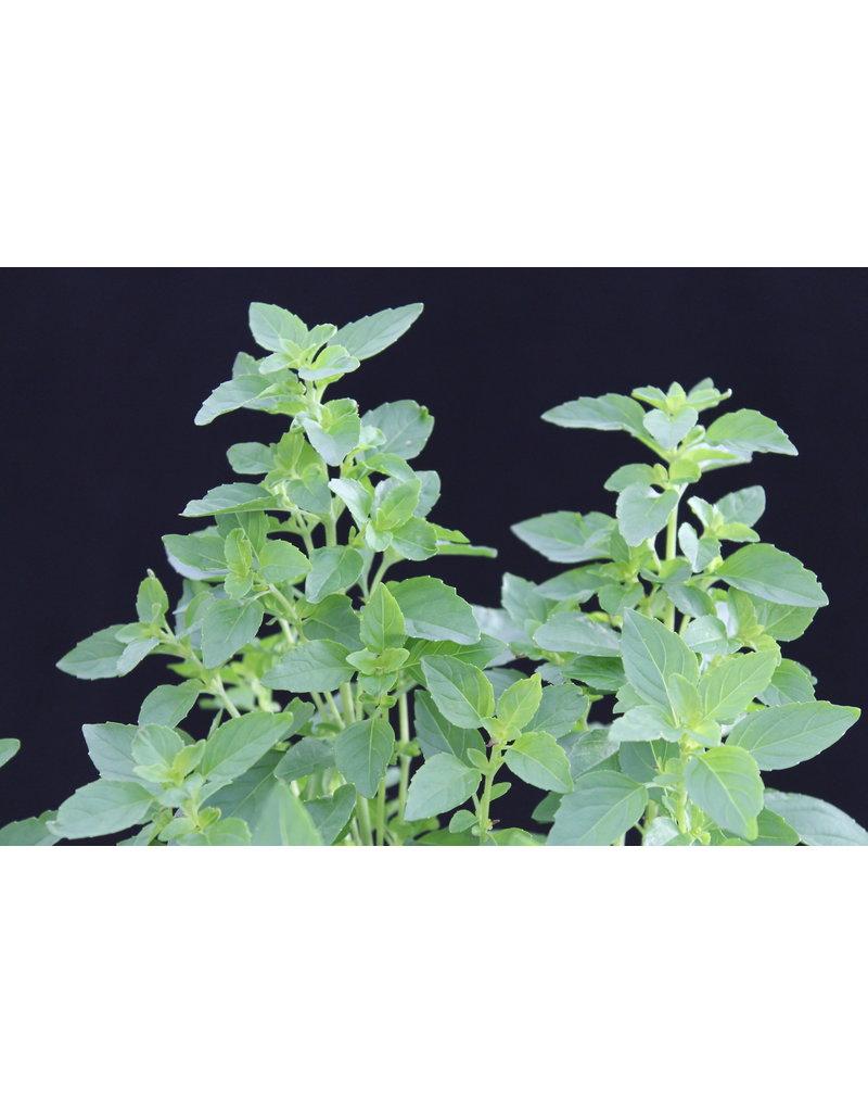 Strauch-Basilikum (Ocimum basilicum ´Cuba´)