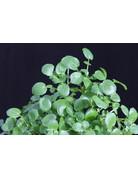 Grüne Brunnenkresse (Nasturtium microphyllum)