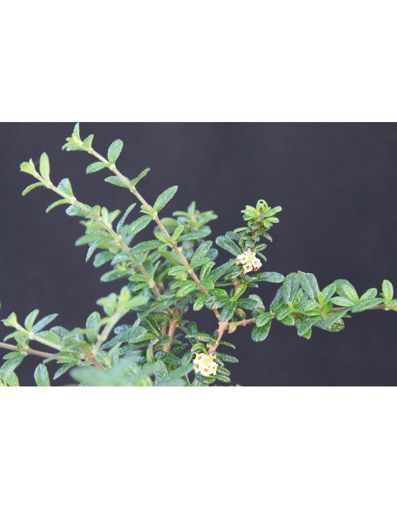 Moujean-Tee (Nashia inaguensis)