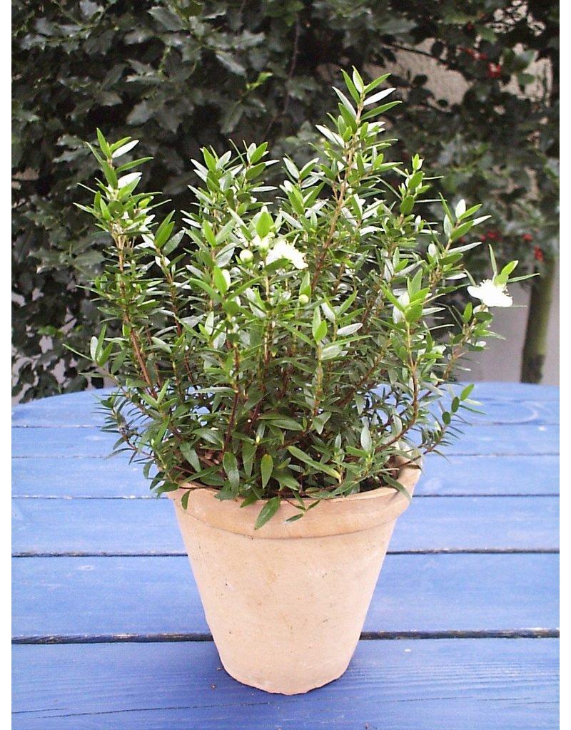 Braut-Myrte (Myrtus communis)