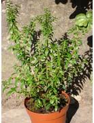 Argentinische Myrte (Myrtus communis)