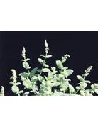 Ananasminze grün - Mentha suaveolens