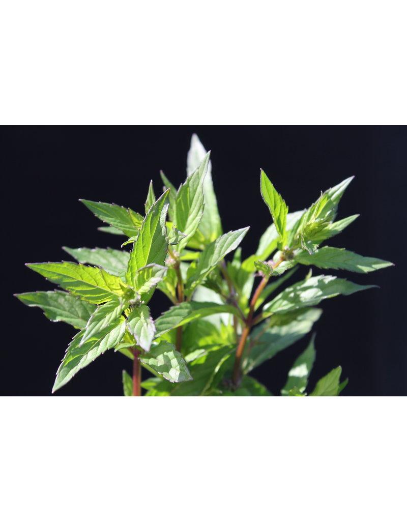 Grüne Minze, Spearmint - Mentha spicata