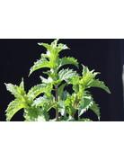 Mentha spicata crispa Türkei