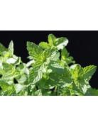Mentha spicata crispa Marokko