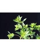 Thai-Minze - Mentha spicata