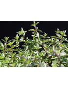 Tante Hildes Fruchtminze - Mentha spicata