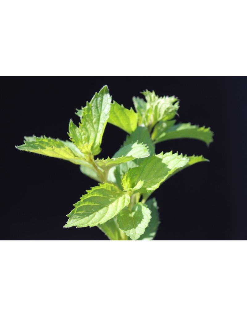 Schweizer Minze - Mentha spicata