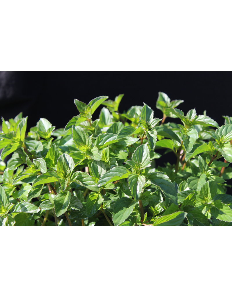Basilikum-Minze - Mentha species