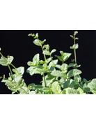 Arabische Minze - Mentha spicata