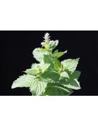 Mentha rotundifolia Apfel