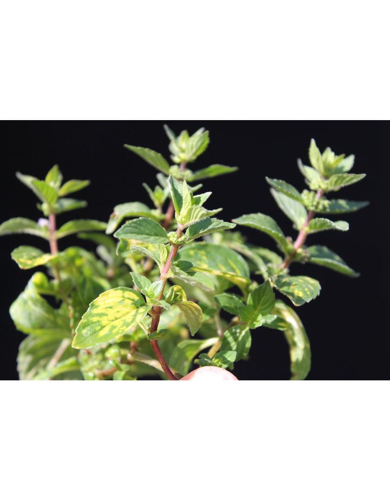 Mentha gentilis variegata Ingwer