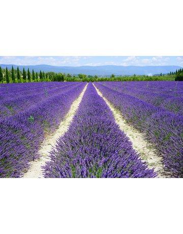 Provence-Lavendel 'Grosso'