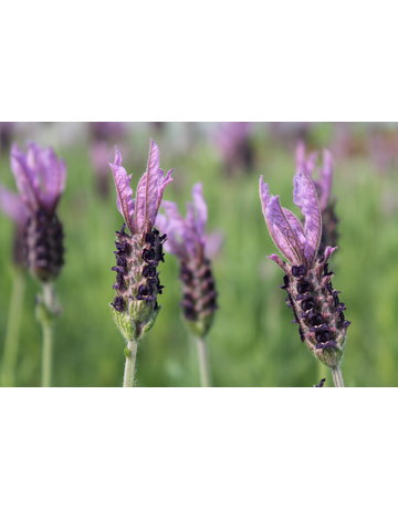Schopf-Lavendel blau