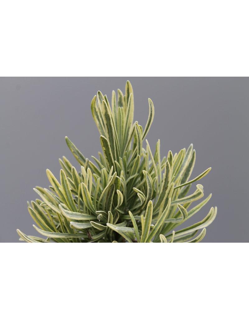 Lavandula angustifolia gelbbunt
